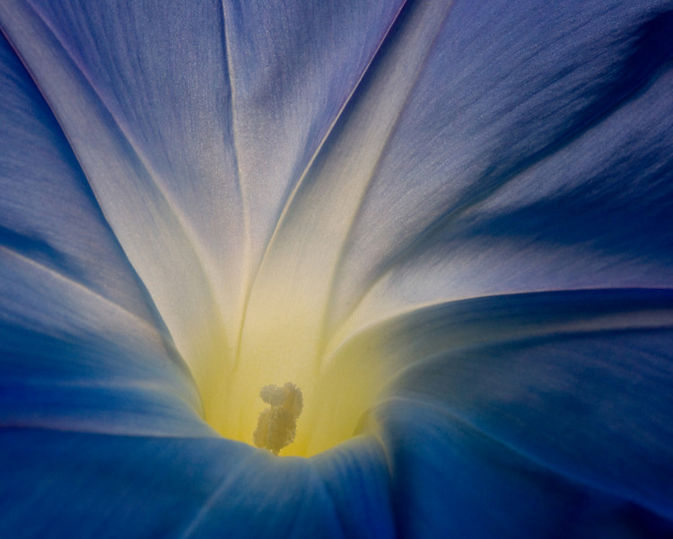 A blue morning glory showing off