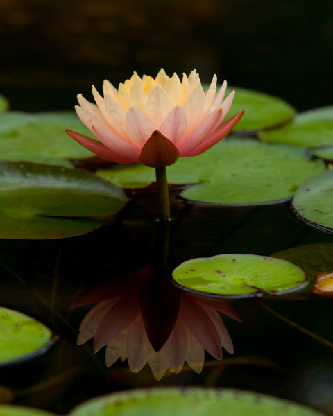 a lily and it's reflection