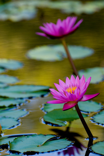 Beautiful water lily blooms