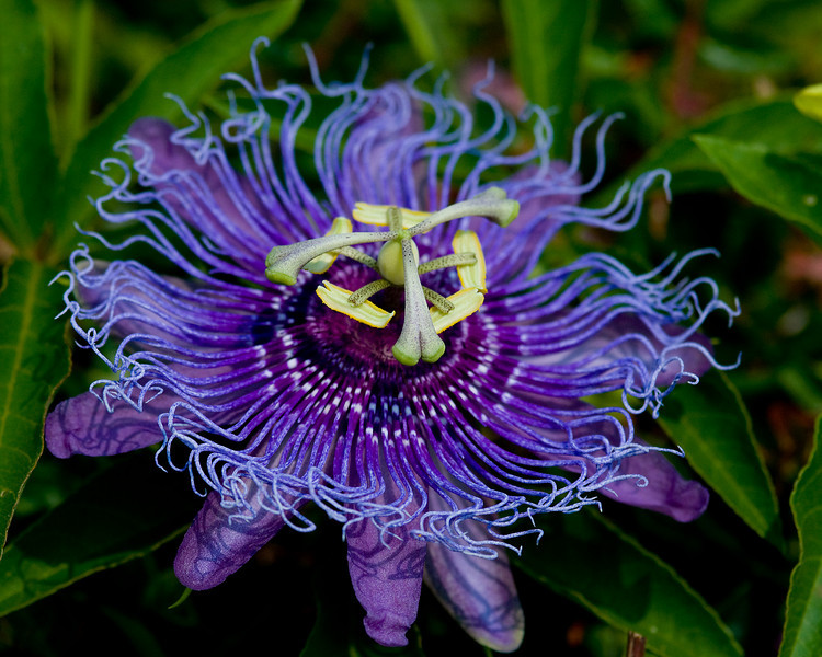 Passion flower or Maypop depending on your part of the country