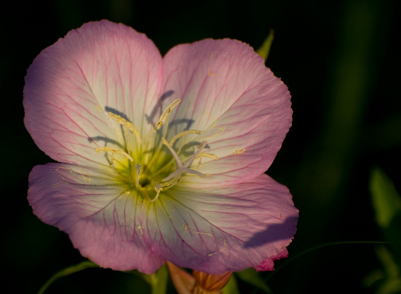 Pale pink in the evening light