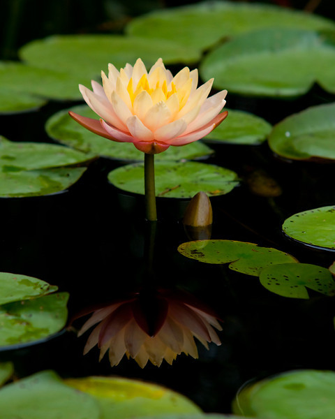 a lily and it's reflection with a new bud coming up