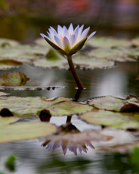a lily and it's reflection in a goldfish pond