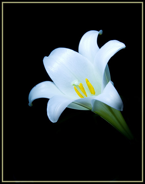 Easter lily painted with light