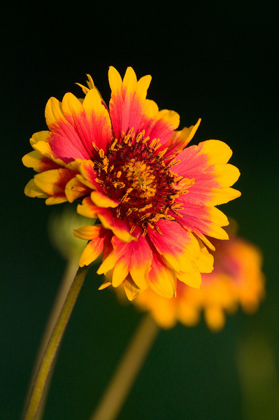 A red and yellow flower looks toward the sunset