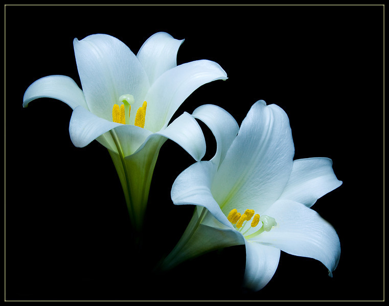 Two Easter lilies painted with light