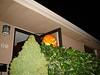 Unser Kürbis vor dem Haus