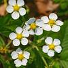 Spring. Wild Strawberry Blossom / Весна. Цветы земляники