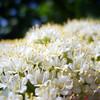 Spring Blossom / Вешний цвет