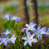 Tender spring flowers Chionodoxa or glory-of-the-snow on blurred forest background