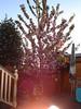 Unser blühender Baum im Garten