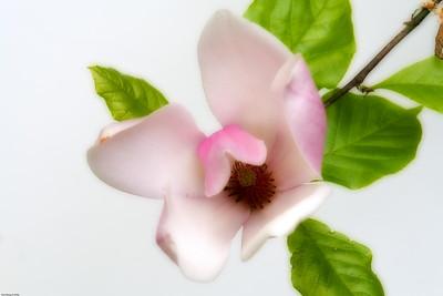 Magnolia Flower 008