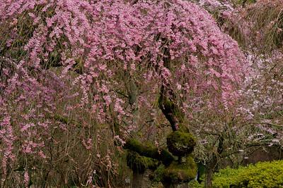 Cherry tree 032