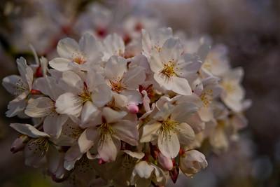 Cherry tree 038
