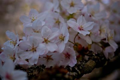 Cherry tree 037