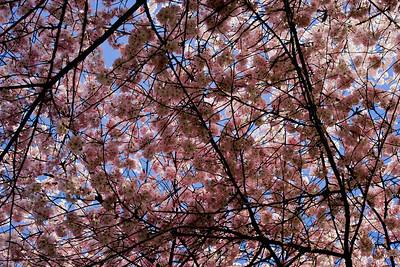 Cherry tree 039