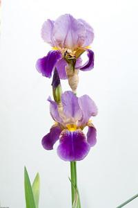 Iris 009