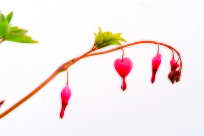 Bleeding Hearts 003