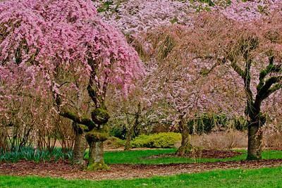 Cherry tree 031