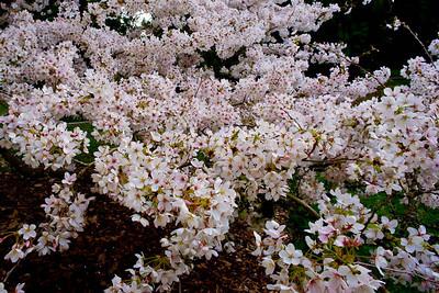 Cherry tree 036