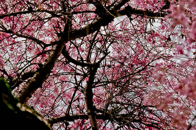 Cherry tree  027