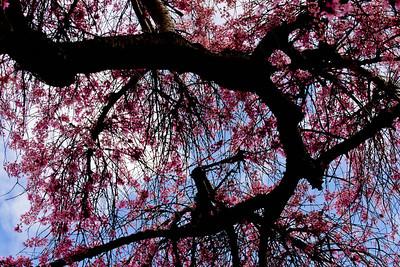 Cherry tree  029