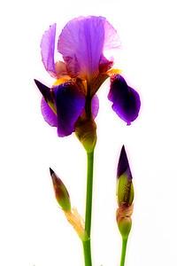 Iris 005