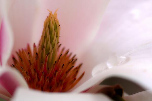 Detail shot of Magnolia Flower 007