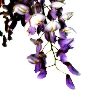 wisteria 001