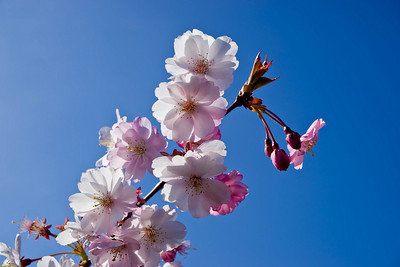Cherry tree 035
