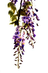 wisteria 002