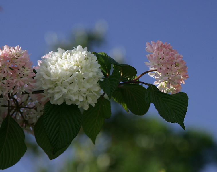 Another species of Viburnum growing in Lily Hall's garden<br /> <br /> Image by Martin McKenzie ~ All Rights Reserved