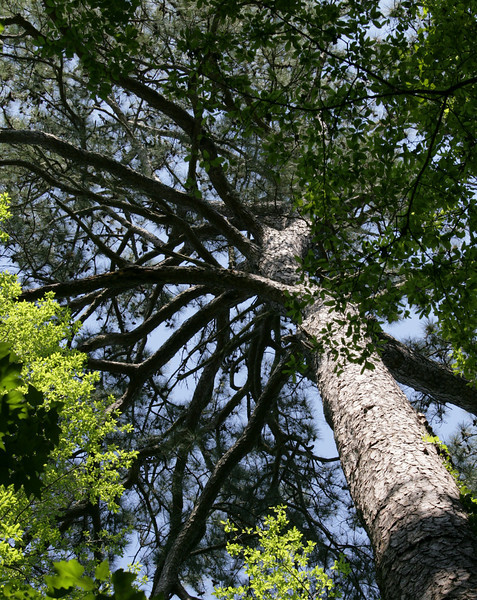 Loblolly Pine in the Congaree National Park<br /> <br /> Image by Martin McKenzie ~ All Rights Reserved