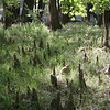 Cypress knees in Congaree National Park near the Weston Lake<br /> <br /> Image by Martin McKenzie ~ All Rights Reserved