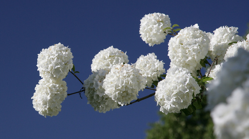 One of several species of Viburnum growing in Lily Hall's garden<br /> <br /> Image by Martin McKenzie ~ All Rights Reserved