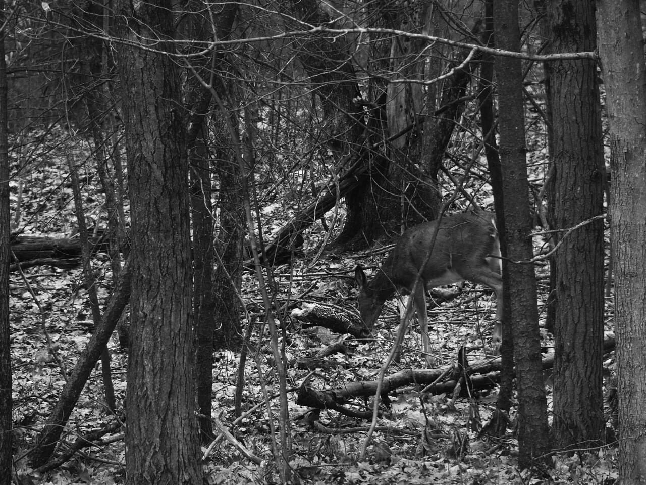 Deer in our yard