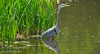 Blue Heron - Fish Creek Park, Calgary, Alberta