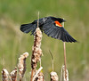 Red-Winged Blackbird - Fish Creek Park, Calgary, Alberta