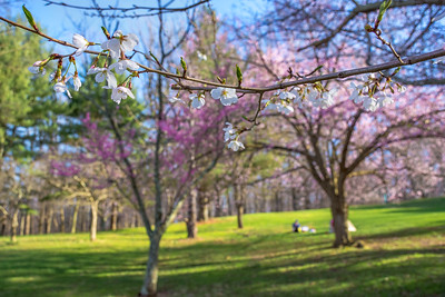 Cherry Blossom Branch in Park