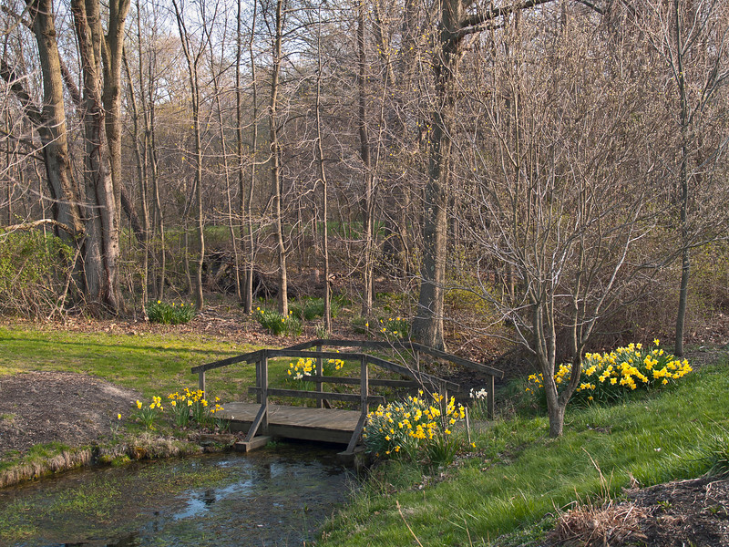"""Early Spring""<br /> Spring daffodils near a small wooden bridge in Thompson Park, Monmouth County, NJ."