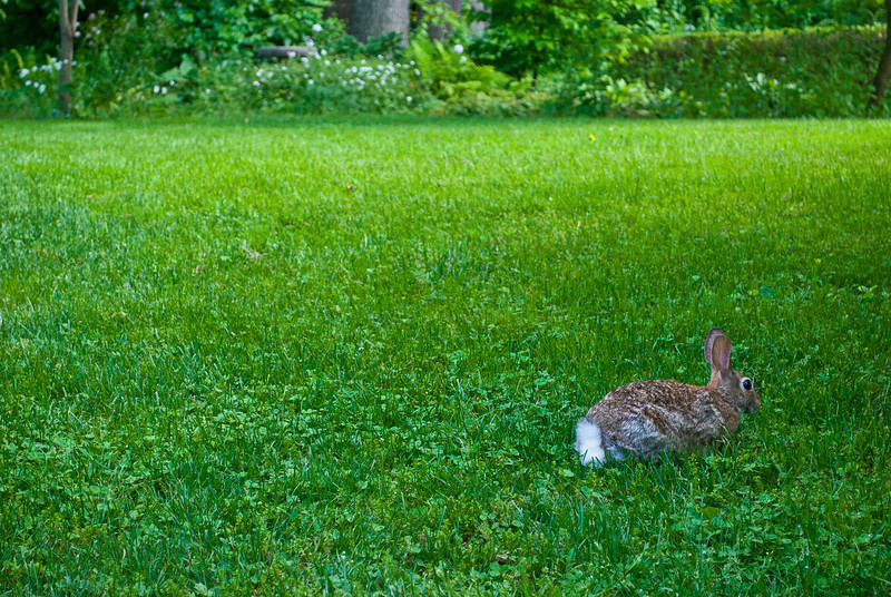 """Backyard Rabbit""<br /> <br /> A rabbit on the grass in early Spring in New Jersey."