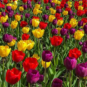 Tulips Squared