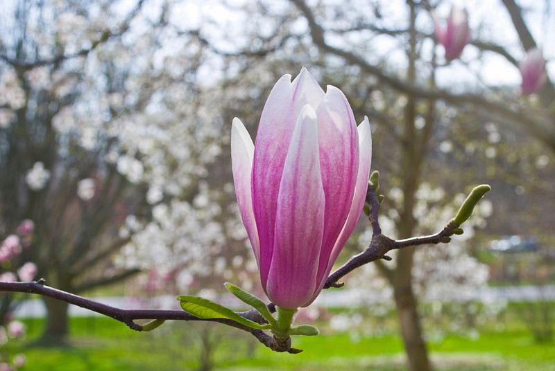 """Spring Branch"" <br /> <br /> A close-up of a magnolia blossom on a branch in Early Spring."