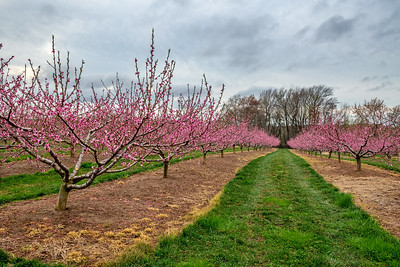 Apple Blossom Rows