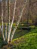 Spring White Birch