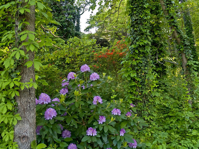 """Lush Spring""<br /> Spring woods flowers and ivy growth on the trees in a park in Central New Jersey."