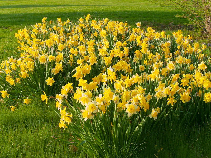 """Spring Daffodils""<br /> A garden full of Spring daffodils in Central New Jersey."