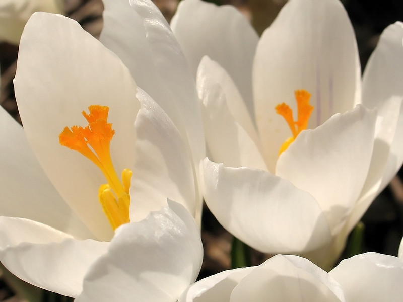 """Crocus""<br /> A closeup of a white crocus, one of the earliest of Spring flowers in a garden."