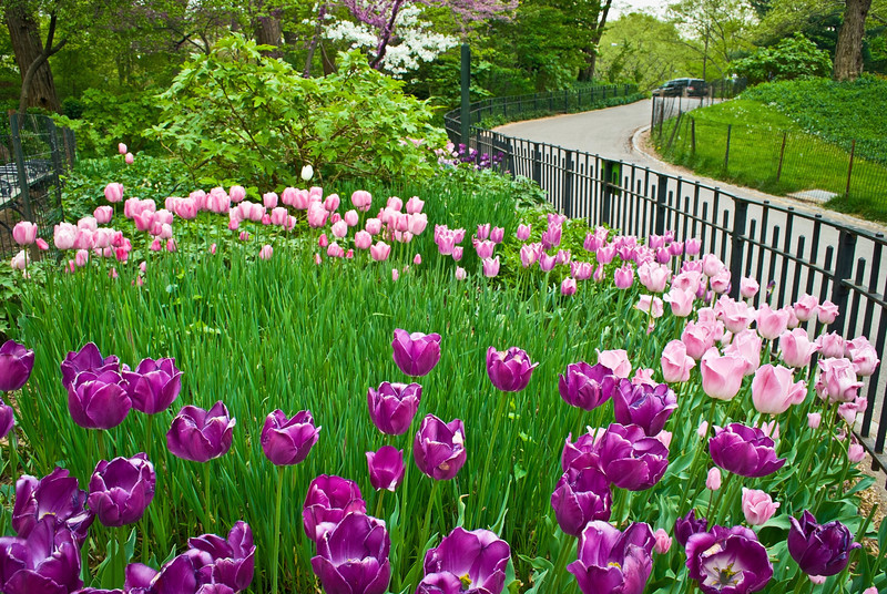 """Tulip Garden Central Park""<br /> <br /> An ornamental tulip garden during early Spring in Central Park."