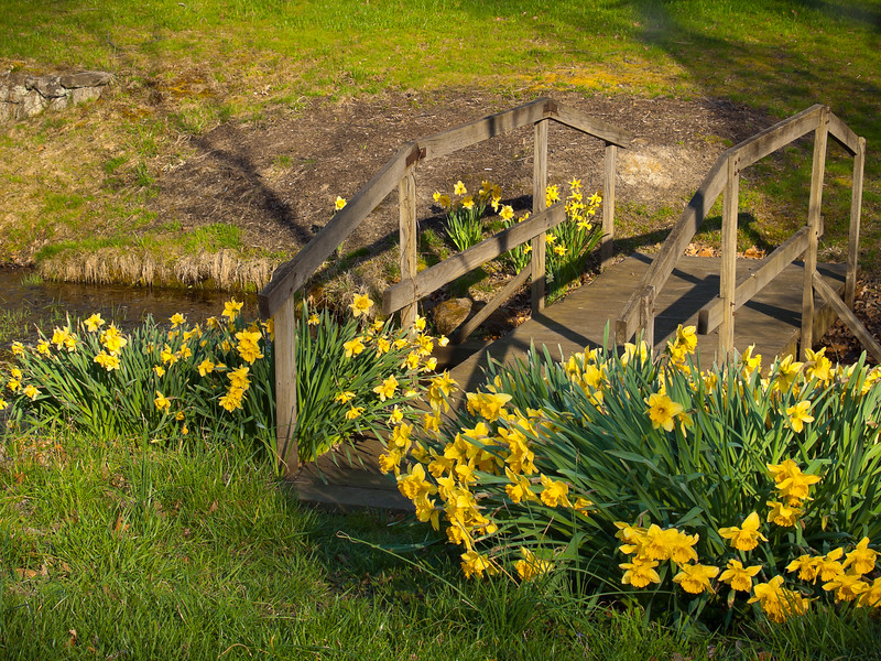 """Bridge of Daffodils""<br /> Early Spring daffodils surround this little wooden bridge at a park in Central New Jersey."
